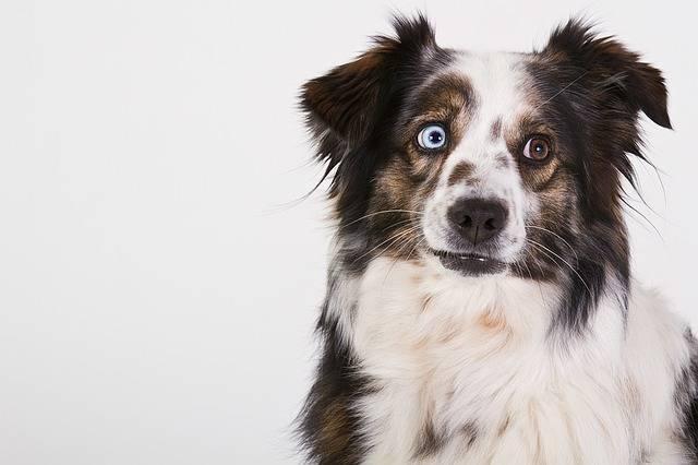 Dog Australian Shepherd Portrait - Free photo on Pixabay (235362)