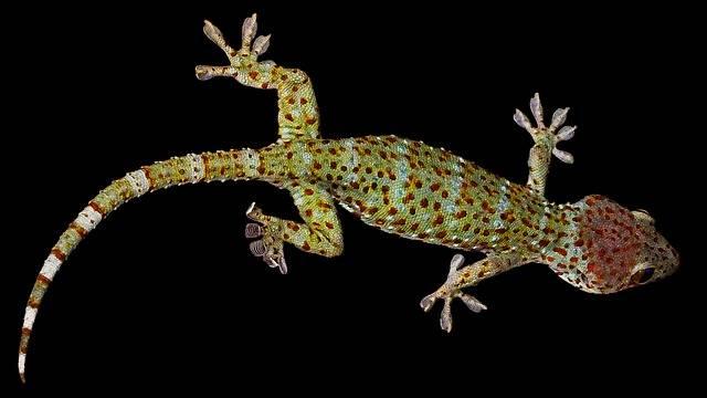 Gecko Lizard Tokhe - Free photo on Pixabay (244323)