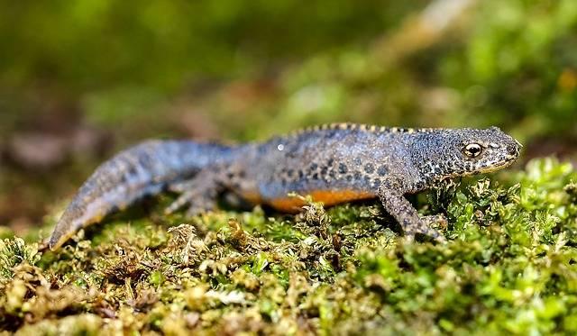 Alpine Newt Amphibians - Free photo on Pixabay (244346)
