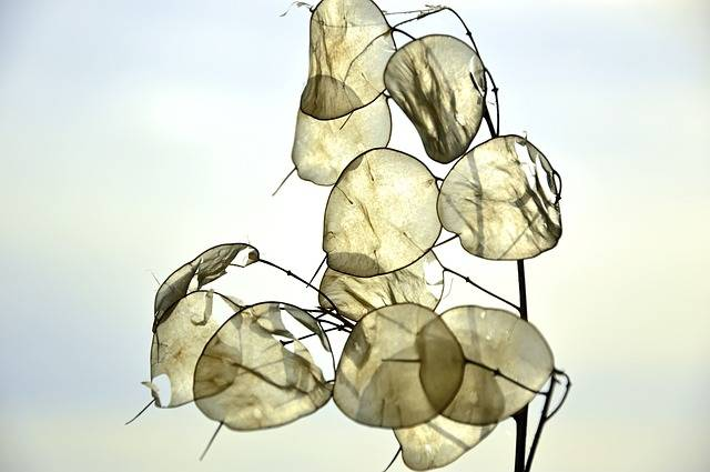 Silver Leaf Lunaria Brassicaceae - Free photo on Pixabay (244844)