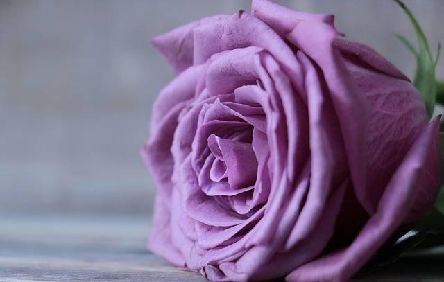 Rose Floribunda Bloom - Free photo on Pixabay (255408)