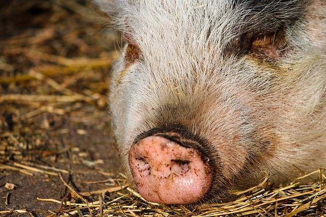 Pig Proboscis Trunk Disc Pig'S - Free photo on Pixabay (263736)
