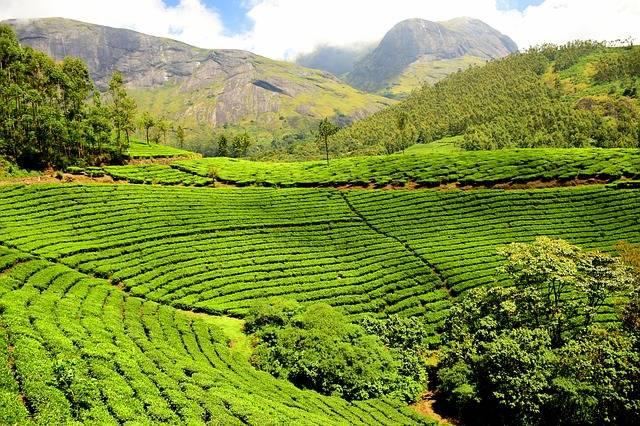 Tea Plantation Garden - Free photo on Pixabay (270254)
