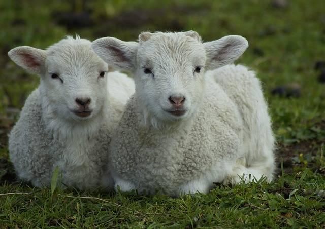 Lamb Lambs Easter - Free photo on Pixabay (271771)