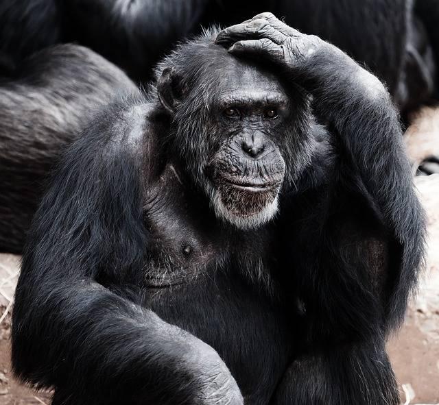 Animal Ape Black - Free photo on Pixabay (271824)