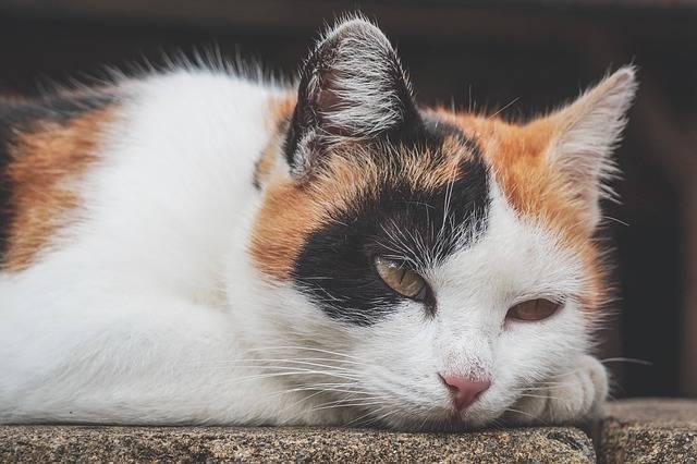 Cat Three Coloured Lucky - Free photo on Pixabay (275517)