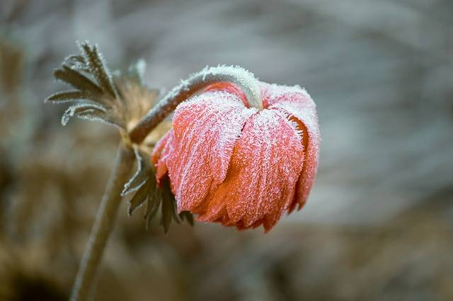 Frozen Blossom Bloom - Free photo on Pixabay (277783)