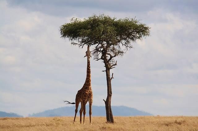 Giraffe Kenya Africa - Free photo on Pixabay (278254)