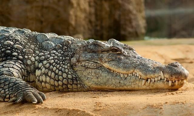 Nile Crocodile Alligator - Free photo on Pixabay (296741)