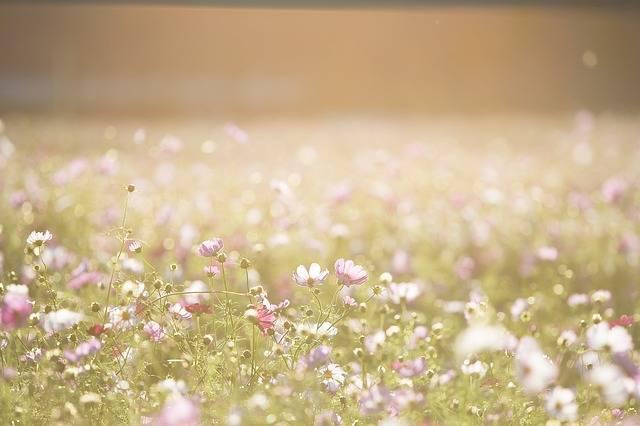 Cosmos Flowers Meadow - Free photo on Pixabay (297872)
