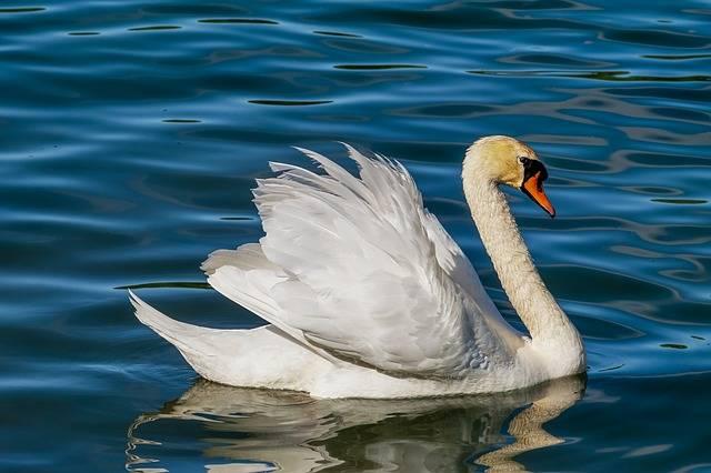 Swan Animal White - Free photo on Pixabay (302239)