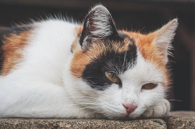 Cat Three Coloured Lucky - Free photo on Pixabay (302289)
