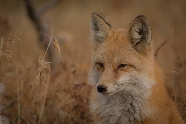 Animal Fox Canine - Free photo on Pixabay (302341)