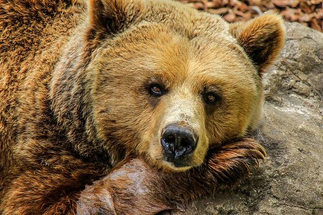 Bear Grizzly Brown - Free photo on Pixabay (304598)