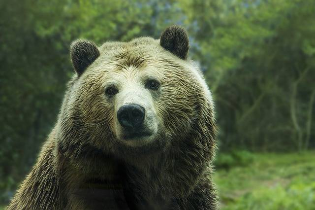 Bear Grizzly - Free photo on Pixabay (304624)