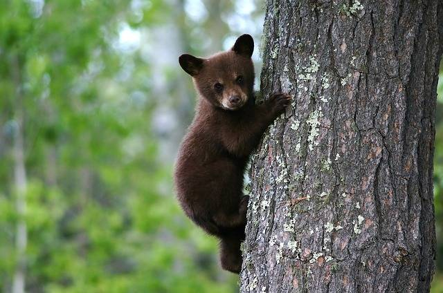 Bear Cub Tree Trunk - Free photo on Pixabay (304633)