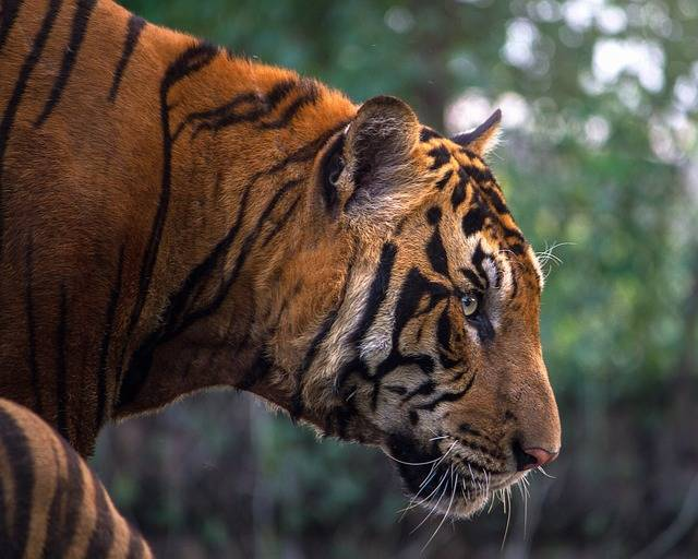 Tiger Animals Bengal - Free photo on Pixabay (306081)