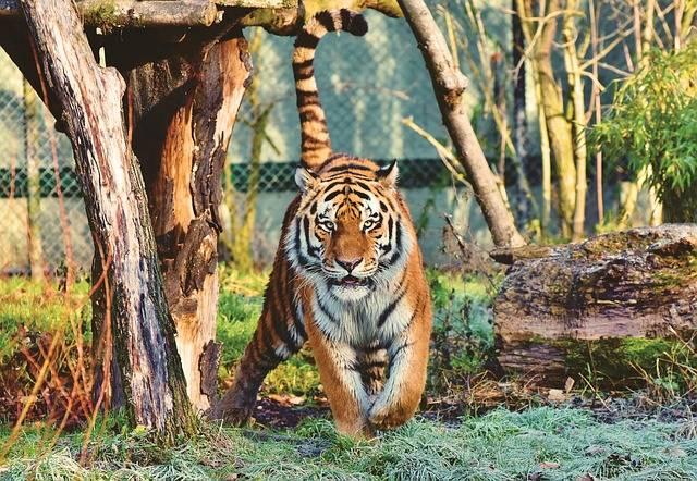 Tiger Siberian Big Cat - Free photo on Pixabay (306640)