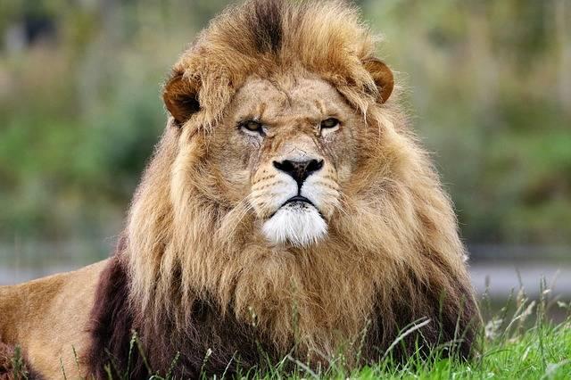 Lion King Animal - Free photo on Pixabay (308196)