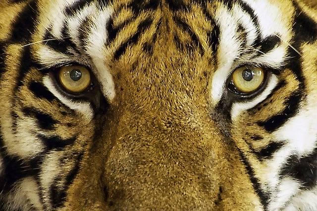 Tiger Feline Wild - Free photo on Pixabay (308413)