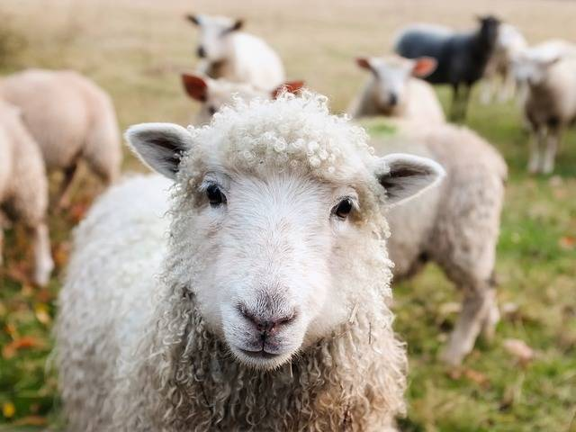 Ireland Sheep Lambs - Free photo on Pixabay (308765)