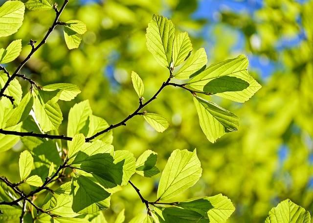 Oak Tree Deciduous - Free photo on Pixabay (310497)