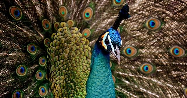 Peacock Beautiful Colorful - Free photo on Pixabay (310883)