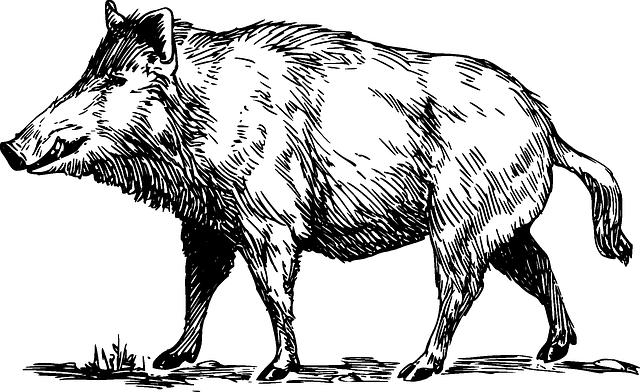 Boar Wild Animal - Free vector graphic on Pixabay (311517)