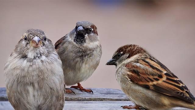 Sparrows Birds Bird - Free photo on Pixabay (311810)