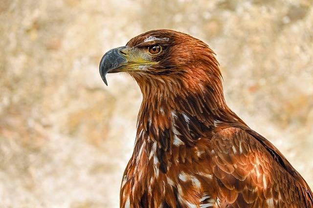 Of Prey Eagle Adler Savannah - Free photo on Pixabay (312834)