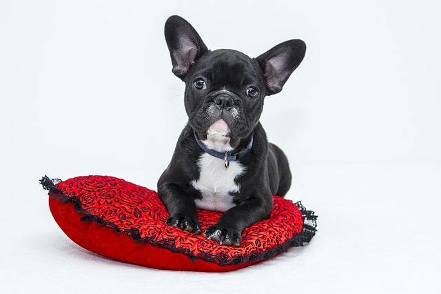 Bulldog Puppy Dog - Free photo on Pixabay (312908)