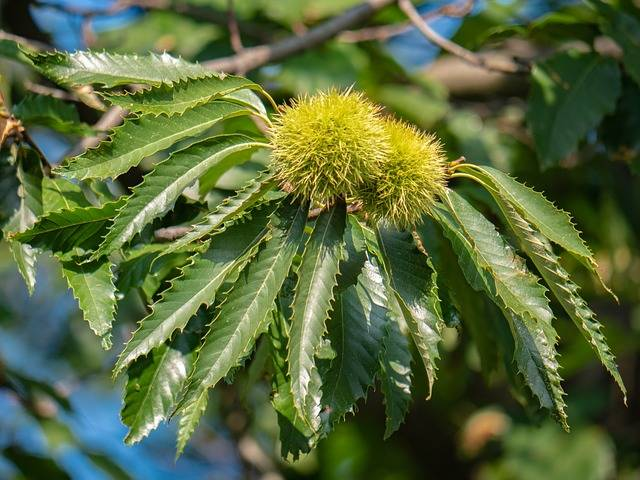 Tree Leaves Chestnut - Free photo on Pixabay (315070)