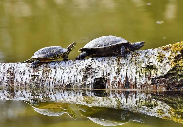 Turtles Reptile Tortoise Shell - Free photo on Pixabay (315687)