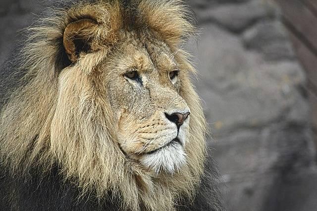 Lion Majestic Felline - Free photo on Pixabay (318433)