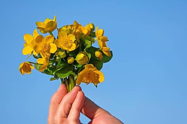 Caltha Palustris Wild Flower - Free photo on Pixabay (318914)