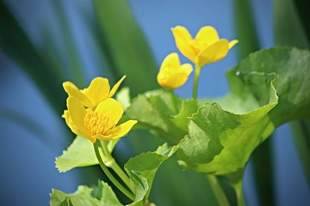 Caltha Palustris Meadow Pointed - Free photo on Pixabay (318917)