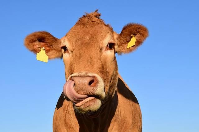 Cow Head - Free photo on Pixabay (328510)