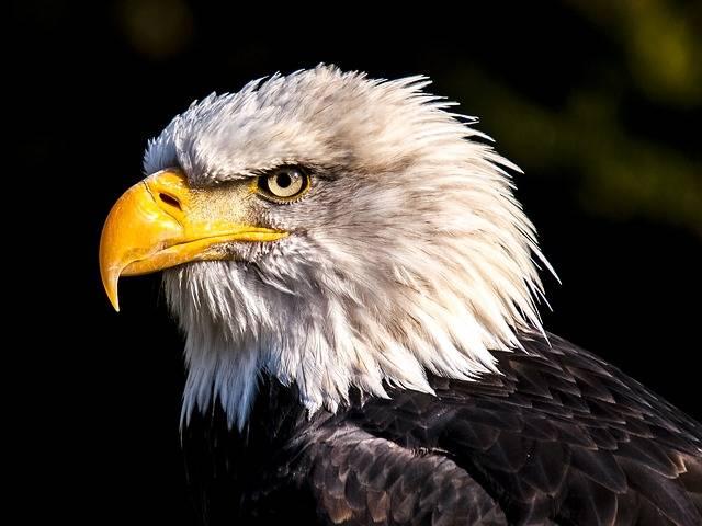 Adler White Tailed Eagle Bald - Free photo on Pixabay (328892)