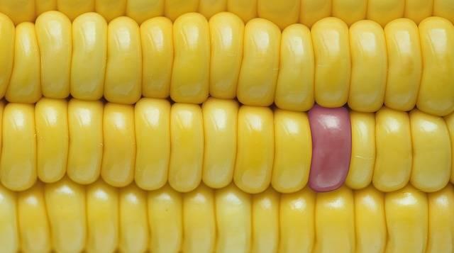 Background Closeup Corn - Free photo on Pixabay (331004)