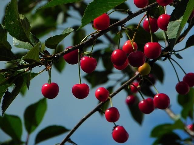 Cherries Sour Morello - Free photo on Pixabay (331288)