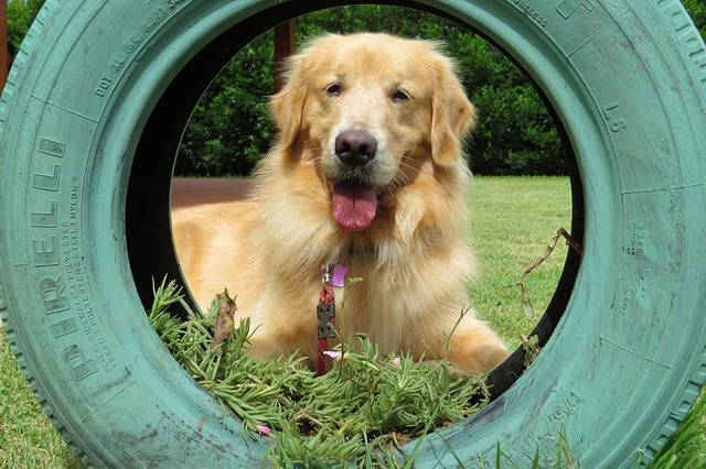 Golden Retriever Tire Dog - Free photo on Pixabay (332333)
