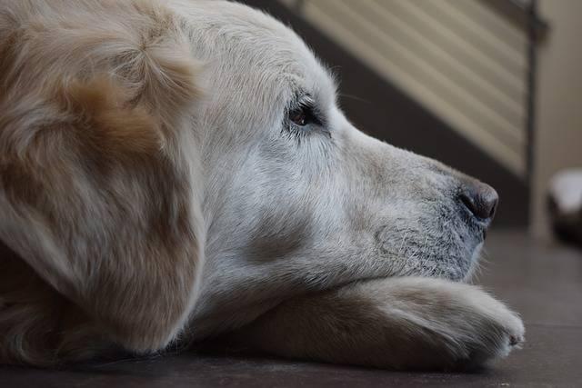 Dog Golden Retriever - Free photo on Pixabay (332565)