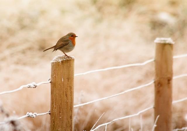 Winter Robin Bird - Free photo on Pixabay (332761)