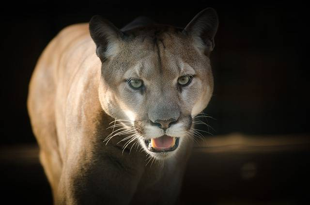 Puma Eyes Close - Free photo on Pixabay (333032)