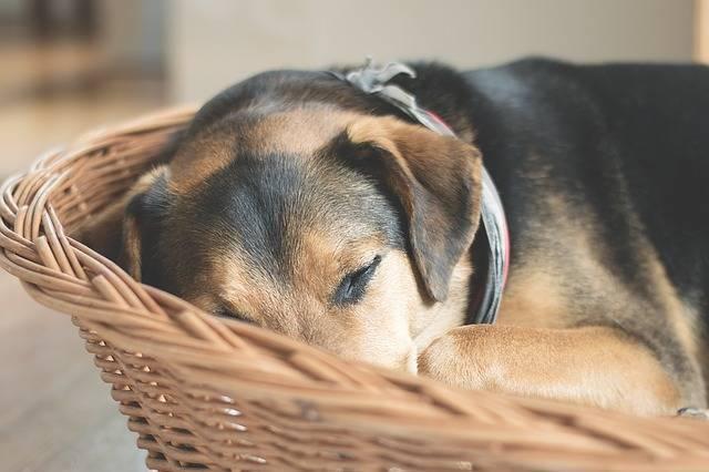 Dog Sleep Animal - Free photo on Pixabay (336995)