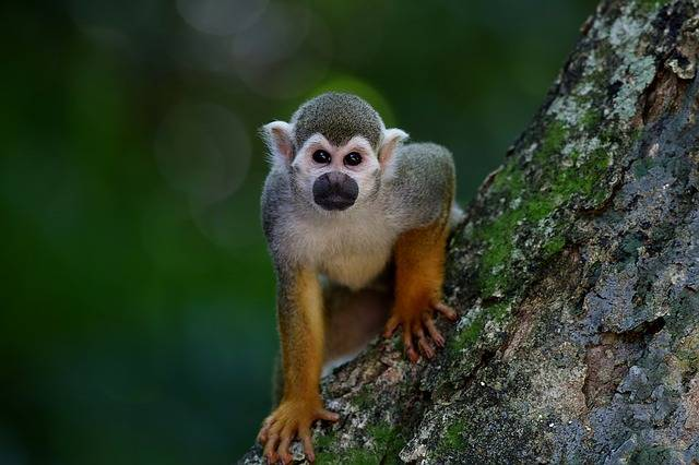 Monkey Ape Mammal - Free photo on Pixabay (339221)