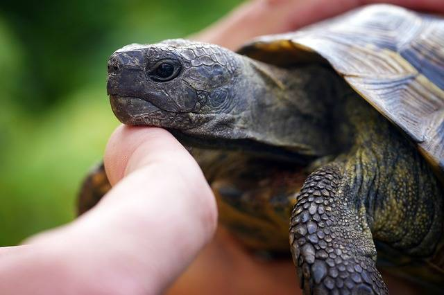 Turtle Hand Tortoise - Free photo on Pixabay (339261)