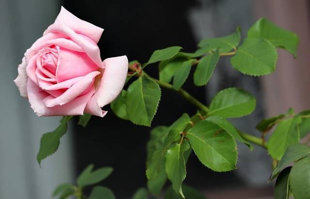 Rose Pink Flower - Free photo on Pixabay (343398)