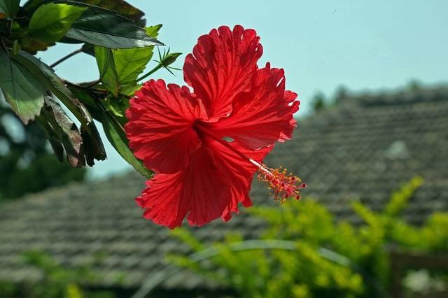 Hibiscus Hashigo梧 Okinawa - Free photo on Pixabay (345843)