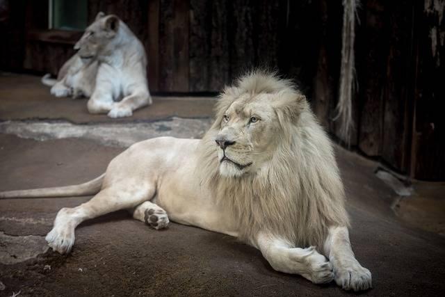 Lion White Big Cat - Free photo on Pixabay (347899)